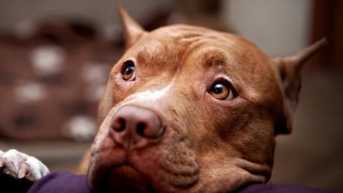 Montreal: la norma per bandire i pitbull è stata approvata
