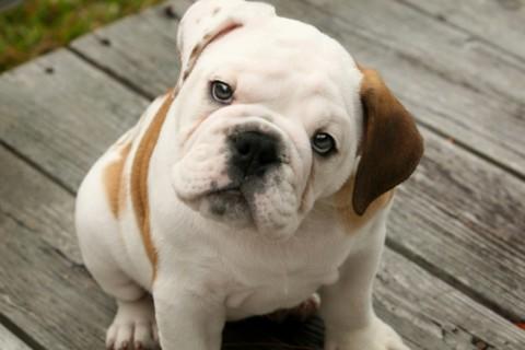 11° Bulldog Day: Domenica 16 ottobre al Parco della Trucca di Bergamo
