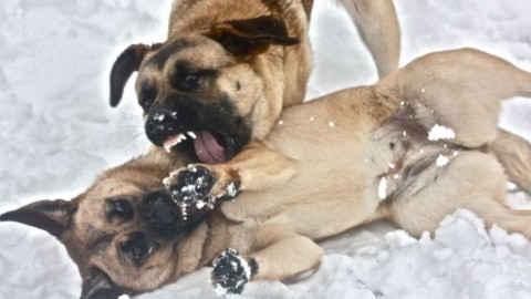 CANE AGGRESSIVO: Il Fight Club di Clyde