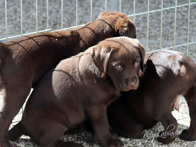 allevamento-labrador-modigliana-emilia-romagna-cuccioli-retriever-cane-adozione