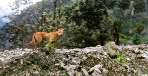 Rinvenuto in Nuova Guinea un branco del cane più raro al mondo