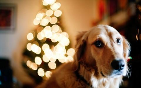 Capodanno con il cane: cosa fare per tenerlo tranquillo