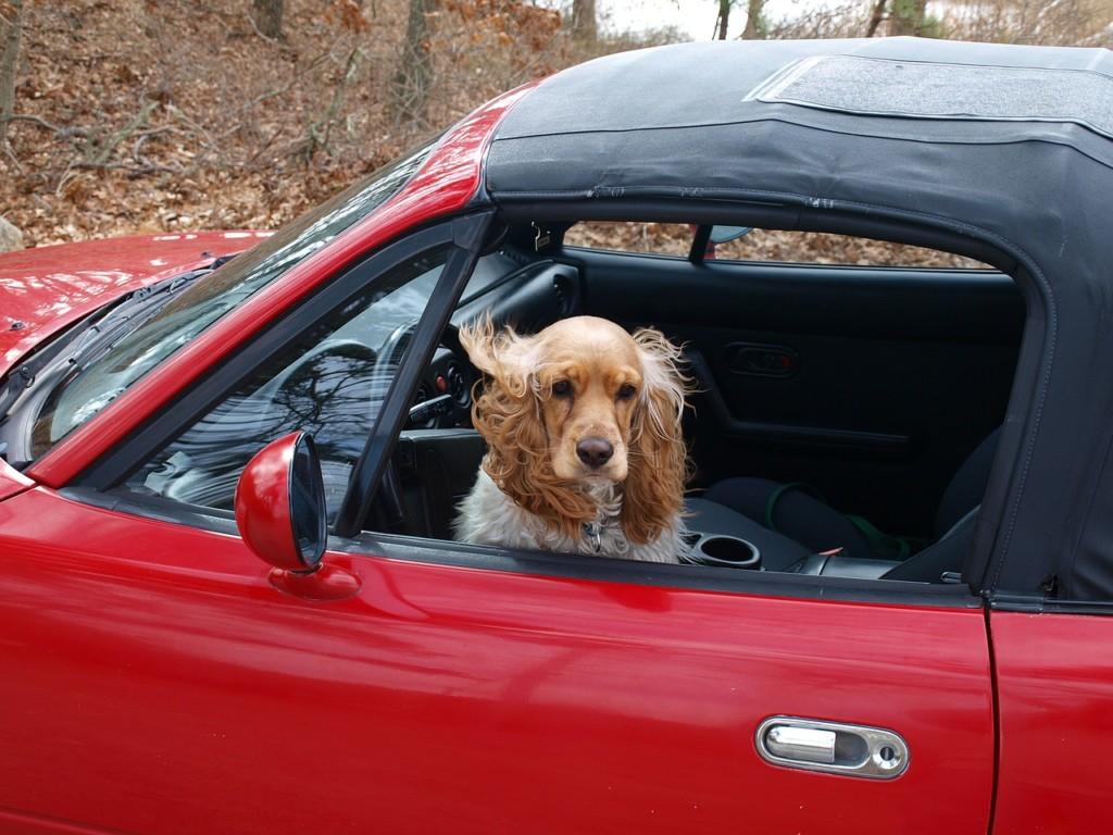 Il cane non viene rubato, ma rapito.