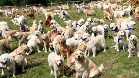 Le foto del raduno di 361 Golden Retriever riempirà il vostro cuore di gioia