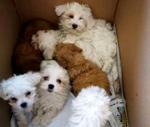 Traffico di cuccioli: coinvolti alcuni allevamenti